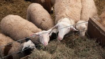 sheep_clump4-17f0e80e5e